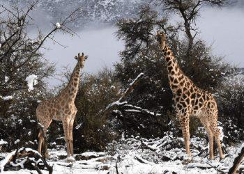 Giraffe in un paesaggio innevato.