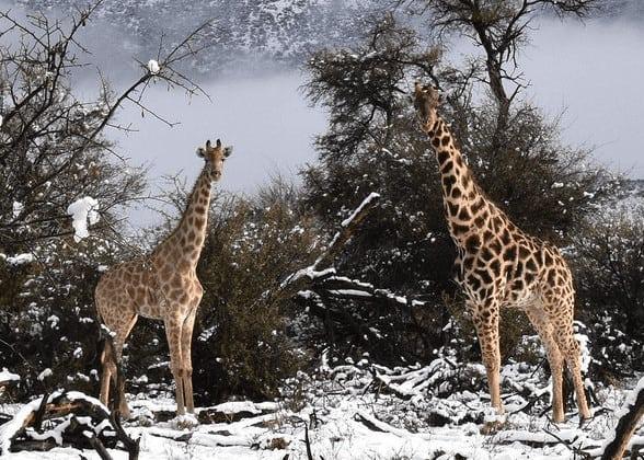 image 1060 588x420 1 - Sudafrica, meteo rigido, anche le giraffe immerse nella neve
